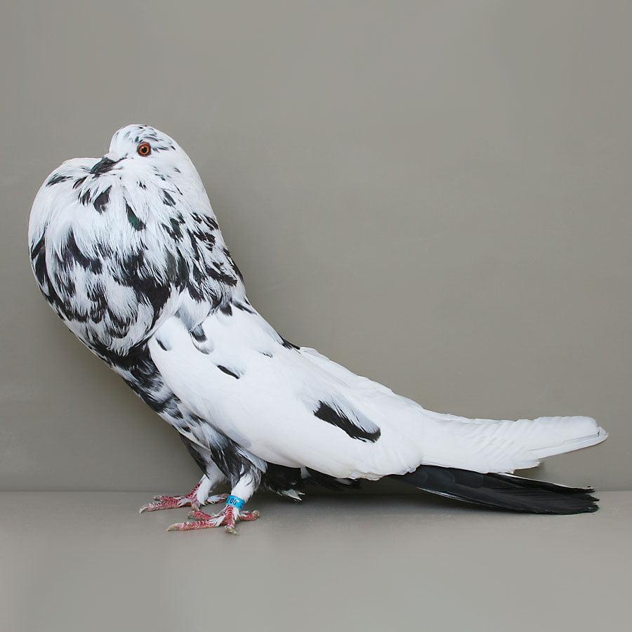 Boulant Allemand ancien - boulant - cropper pigeons