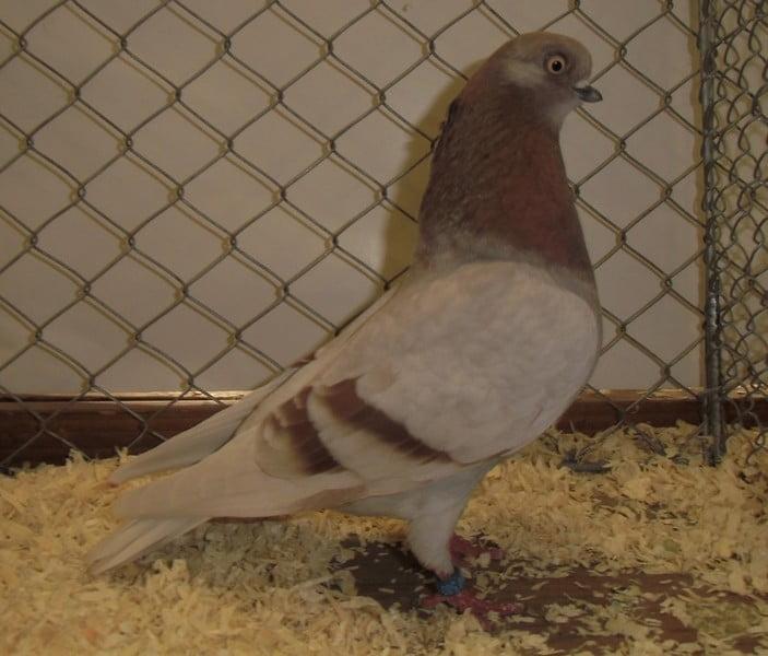 Culbutant Portugais - pigeons culbutant