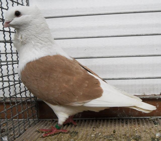 Flandrische Smerle - mövchen - tauben