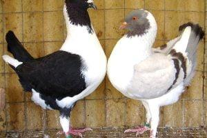 tlorentiner - florentino - hen pigeons
