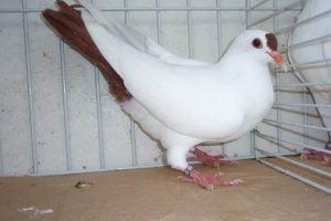 Heurté de Thuringe - color pigeons
