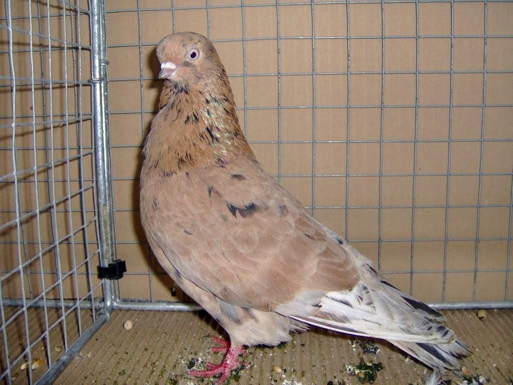 tumbler pigeons - Portuguese