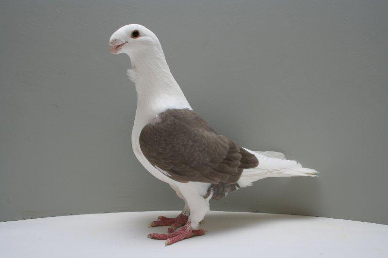 pigeons cravate - smerle