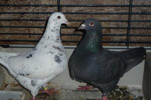 texan pioneer breeds - pigeontype