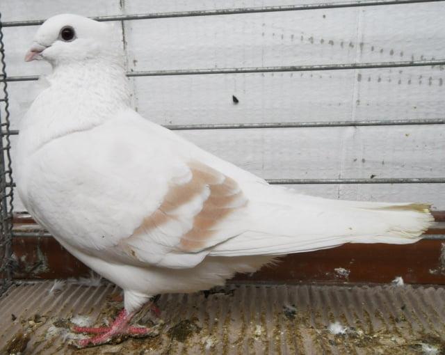 owl pigeons - belgium pigeons