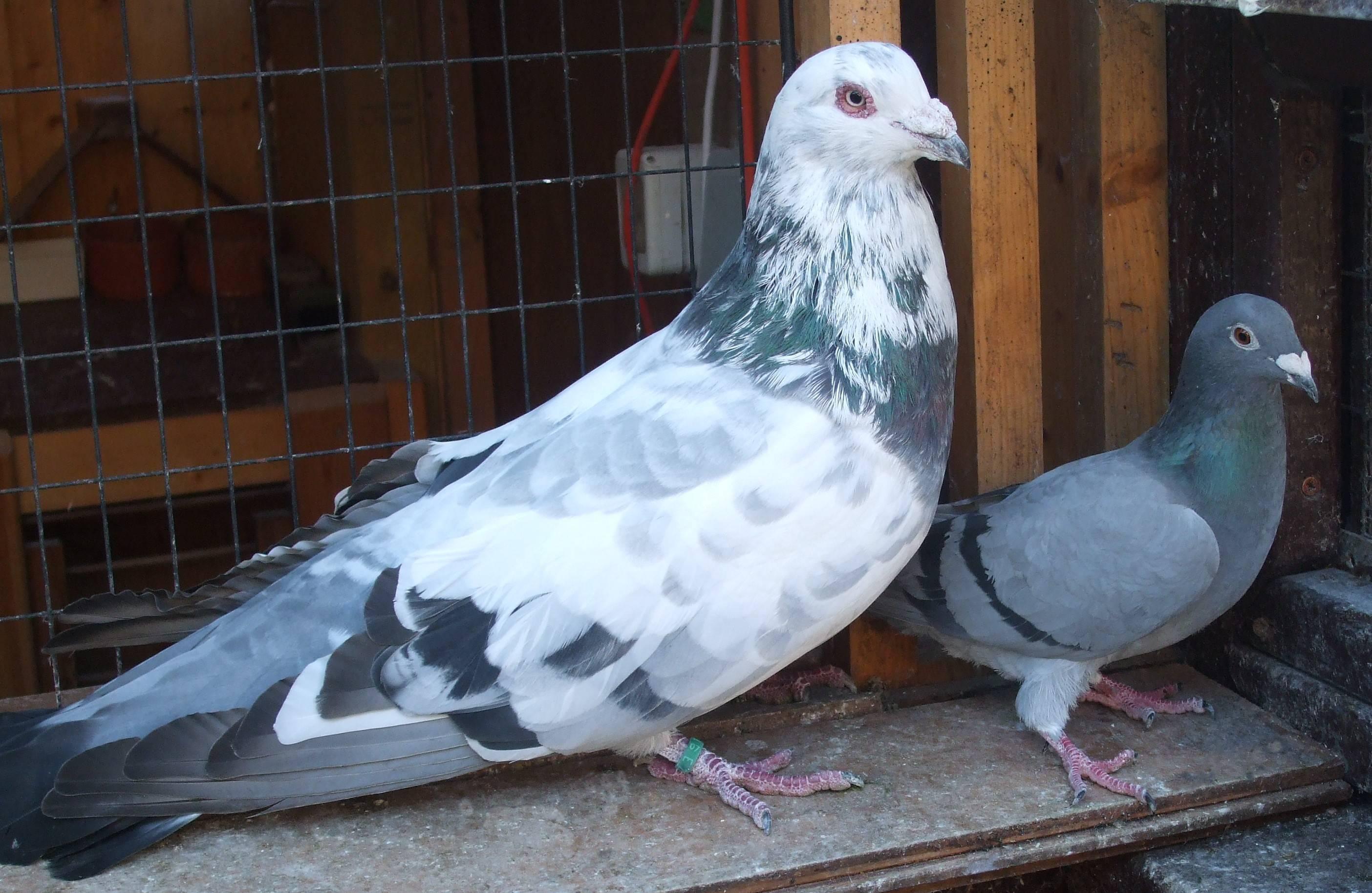 pigeon romain wikipedia - pigeon romain