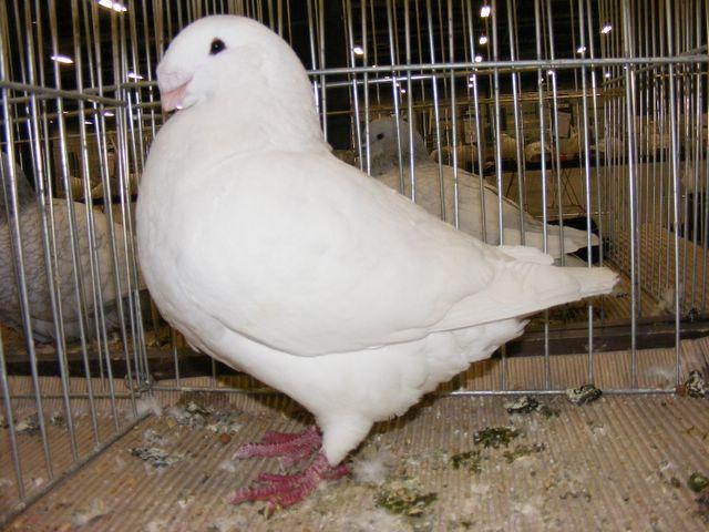 giant homer - white