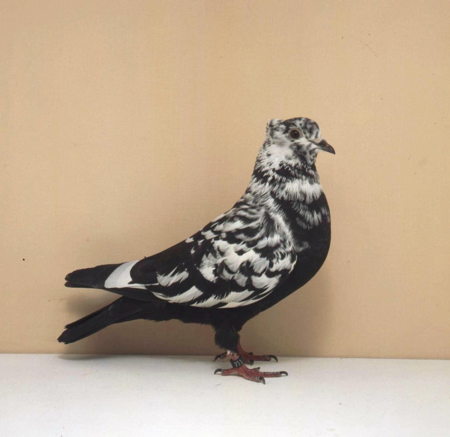 Bernois-à-tête-criblée