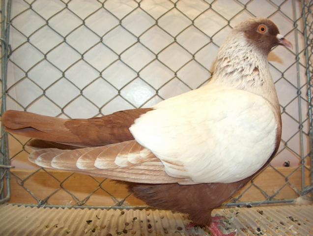 Chardonneret Danois - color pigeons