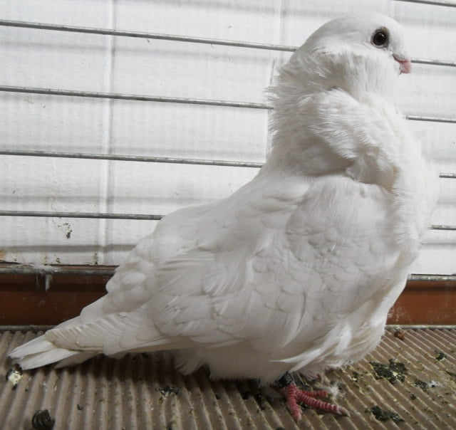 chinese owl pigeons - white pigeons - structure pigeons