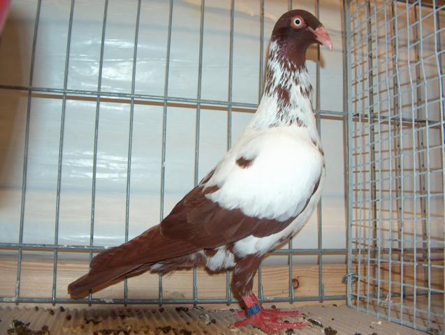 Culbutant Danois - pigeons