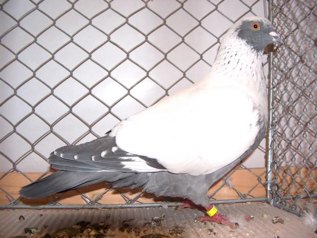 danish pigeons - saubian - color fancy