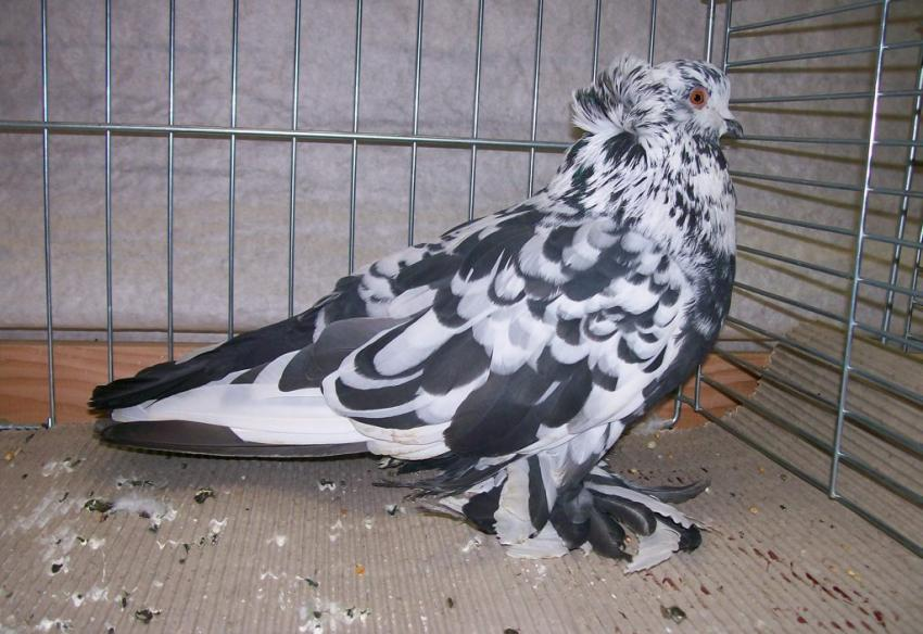Hungarian Giant Pigeon - form