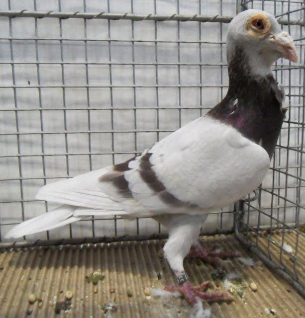 Ostrauer Bagdette - bagdad pigeons