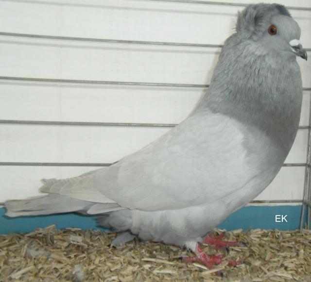 Crested Soultz - form pigeons