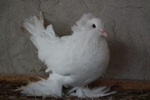 Hungarian Giant Pigeon - Magyar órias galamb