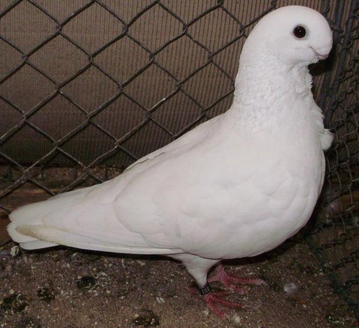 white african owl pigeons - mövchen