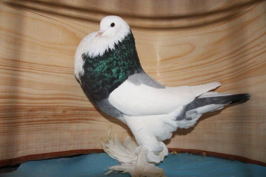 Boulant Gantois - pigeons boulant