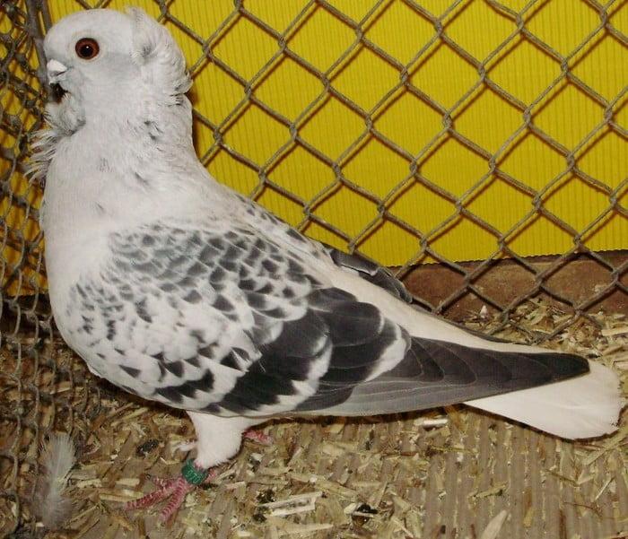 hamburg owl pigeons - möchen