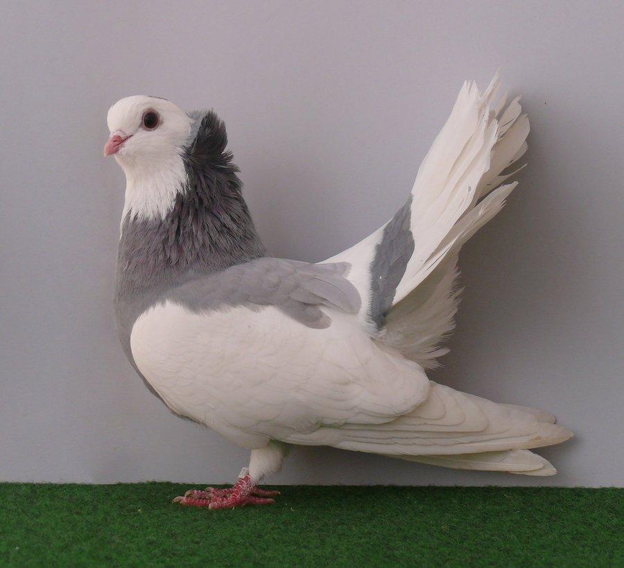 monor tumbler - tumbler pigeons - hungarian pigeons