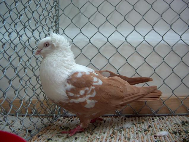 Porumbei jucători de Timișoara