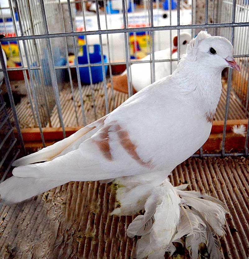 Sächsische Mondtaube - saxon - pigeons - muffed pigeons - farbentauben