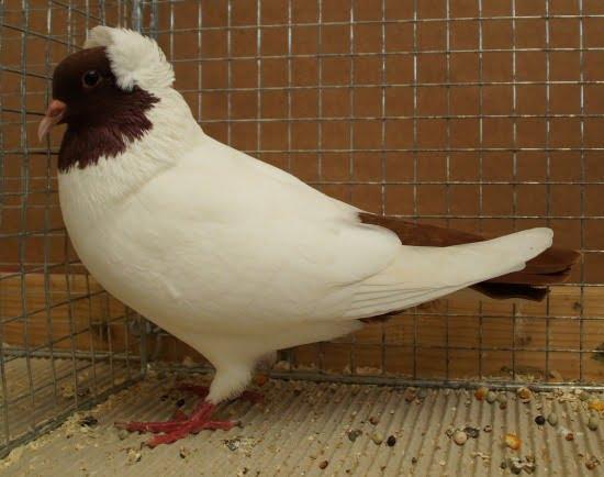 moorhead pigeons - german color pigeons