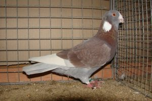 mazoni-syrian-dewlap pigeons