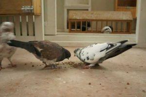 Portuguese Tumblers pigeons videos