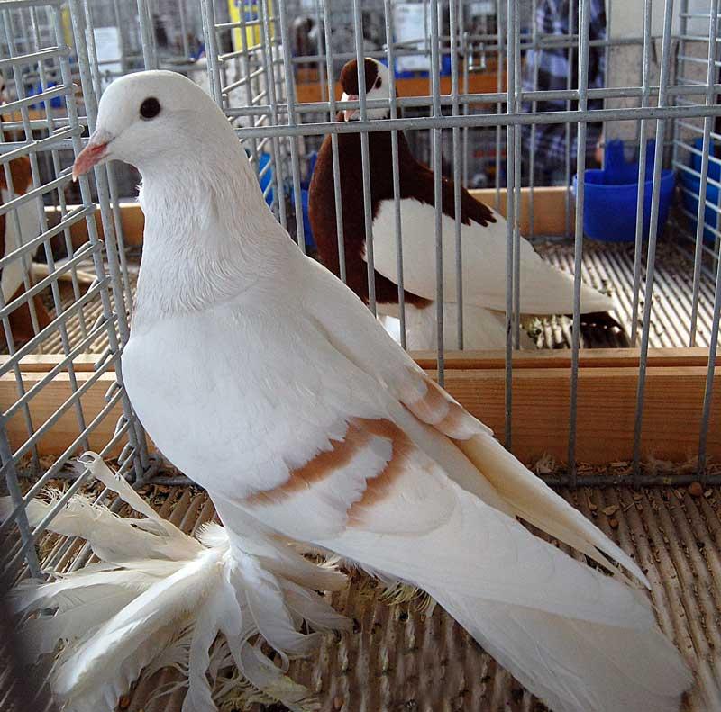Pigeon Lune de Saxe - couleur