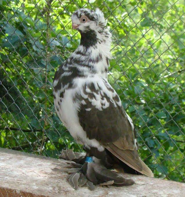 black mottle pigeons