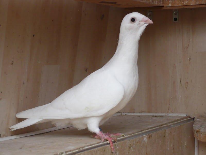 white dewlap
