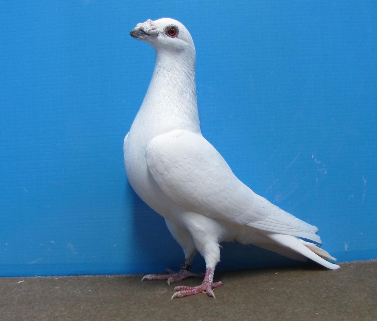 birdtrader - white dragoon - wattle pigeons - english pigeons