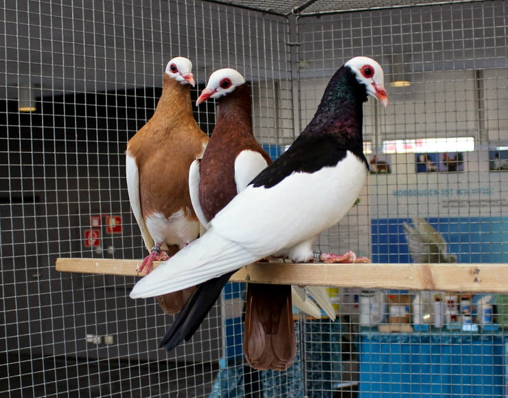 color type pigeons