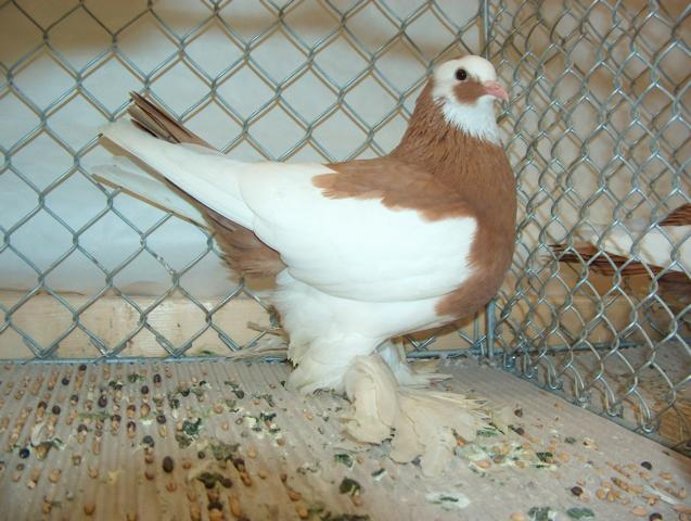 old dutch tumbler pigeons