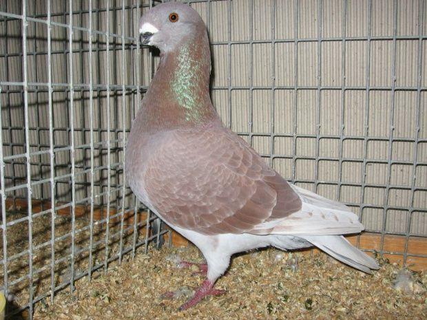 show antwerp - form pigeons