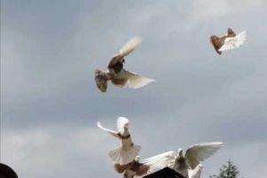 roller pigeons- flying skills