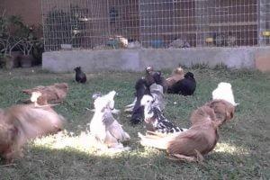 Bokhara Trumpeter pigeon Videos - süs güvercini videoları