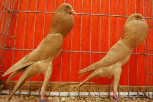 brunner cropper pigeons