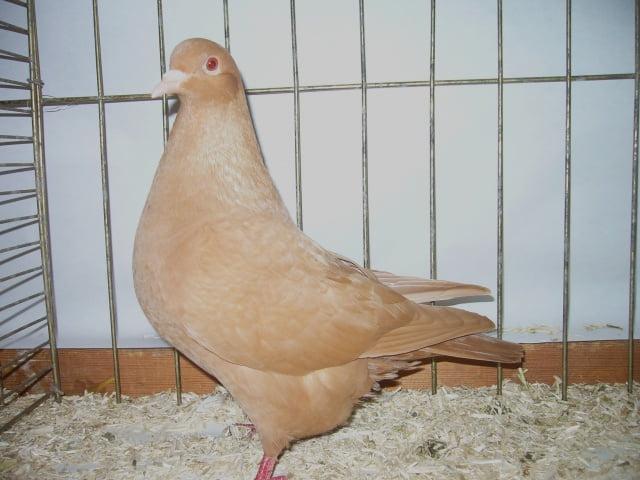 pigeons carneau - forme