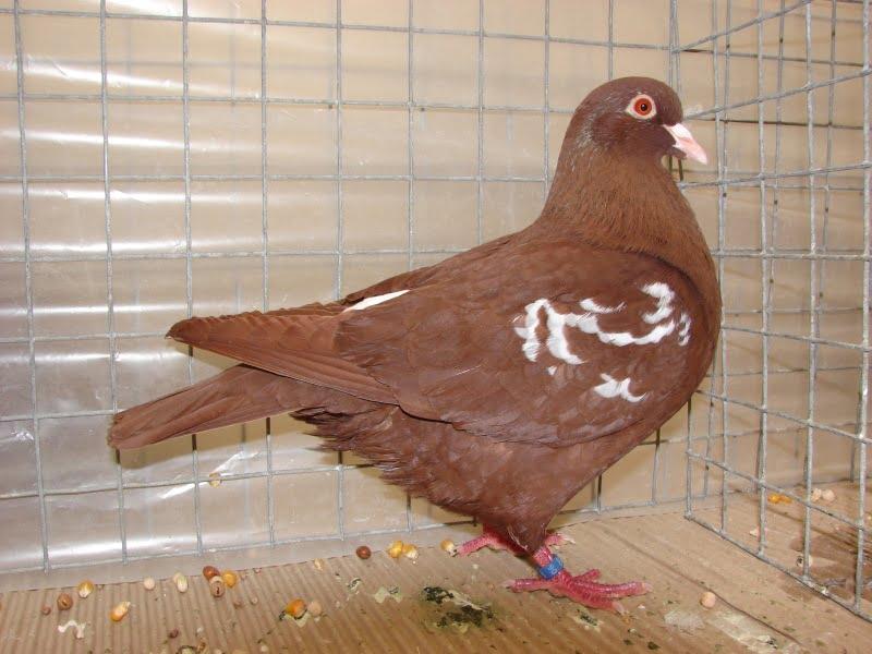 carneau - form pigeons