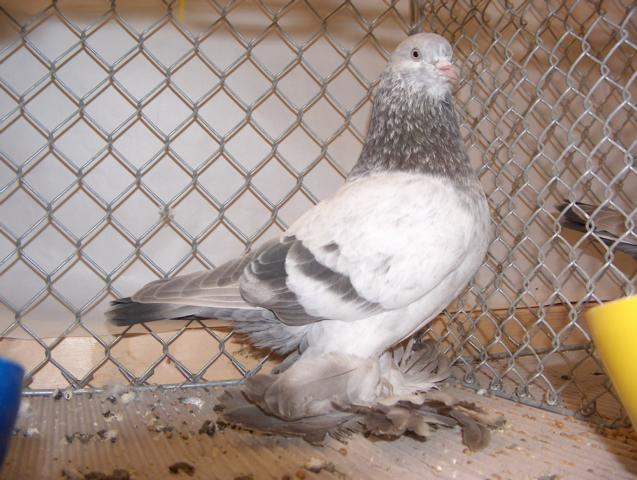 Old Dutch Tumbler - netherland pigeons