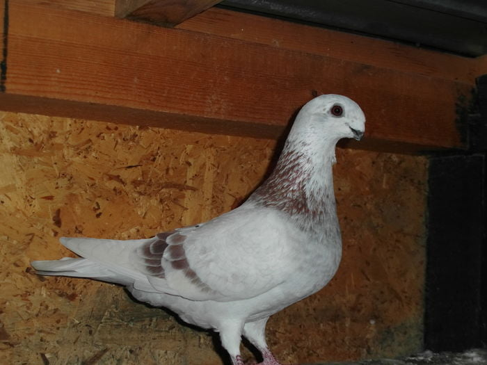 tauben - forme - form pigeons