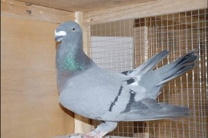 show homer tauben - form pigeons - racer