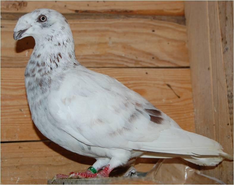 show homer - utility form pigeons