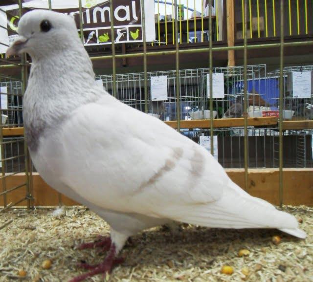 coluor pigeons-thurgau elmer