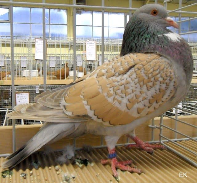 cauhois pigeon - form pigeons