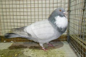 cauchois giant form pigeons