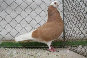 white head tumbler pigeons