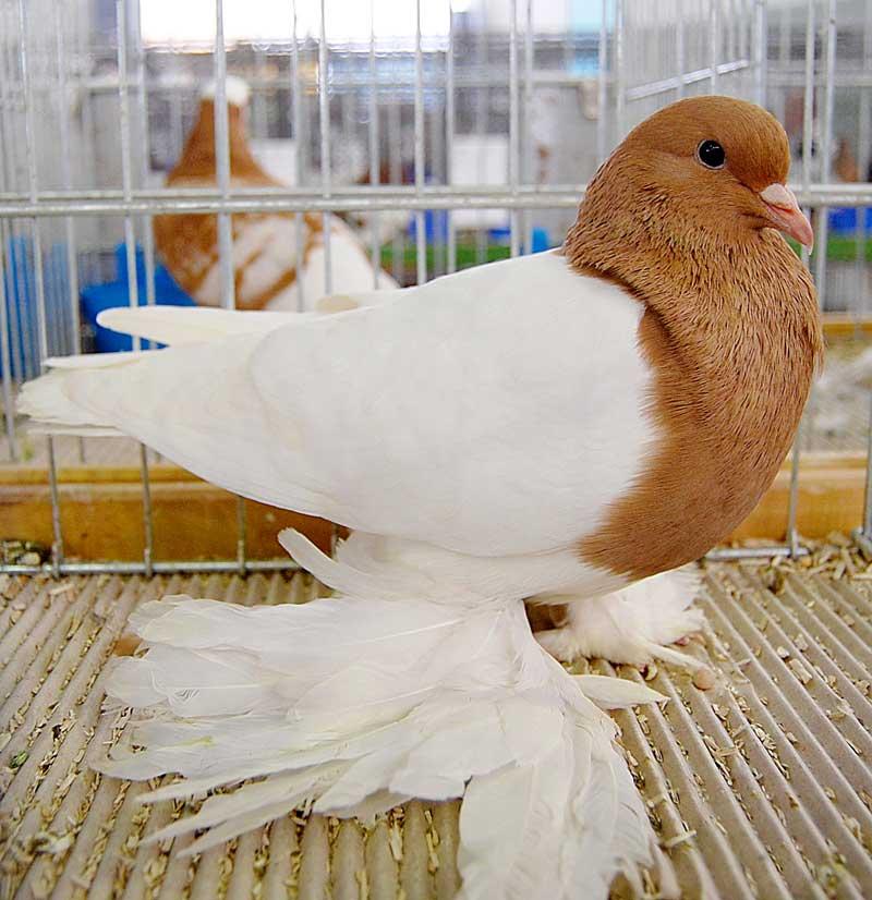 Pigeon de Saxe à poitrine colorée